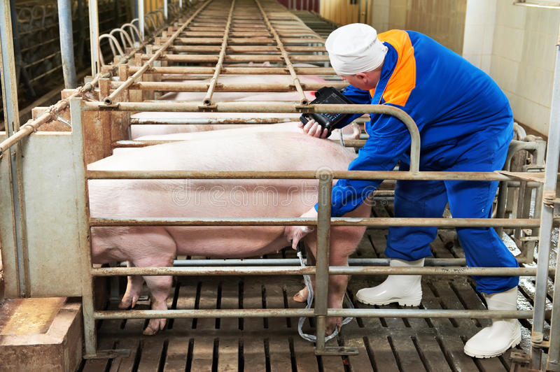 Pig ultrasound diagnosis. After artificial insemination fertilization at agriculture reproduction farm stock photography