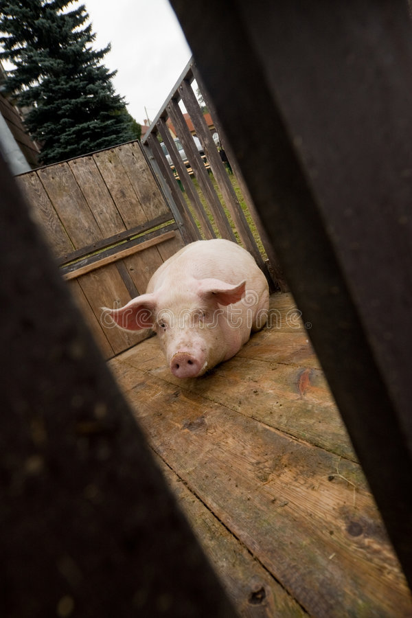 Pig waiting in slaughterhouse. Details of pig waiting in slaughterhouse, seen through small gap royalty free stock image