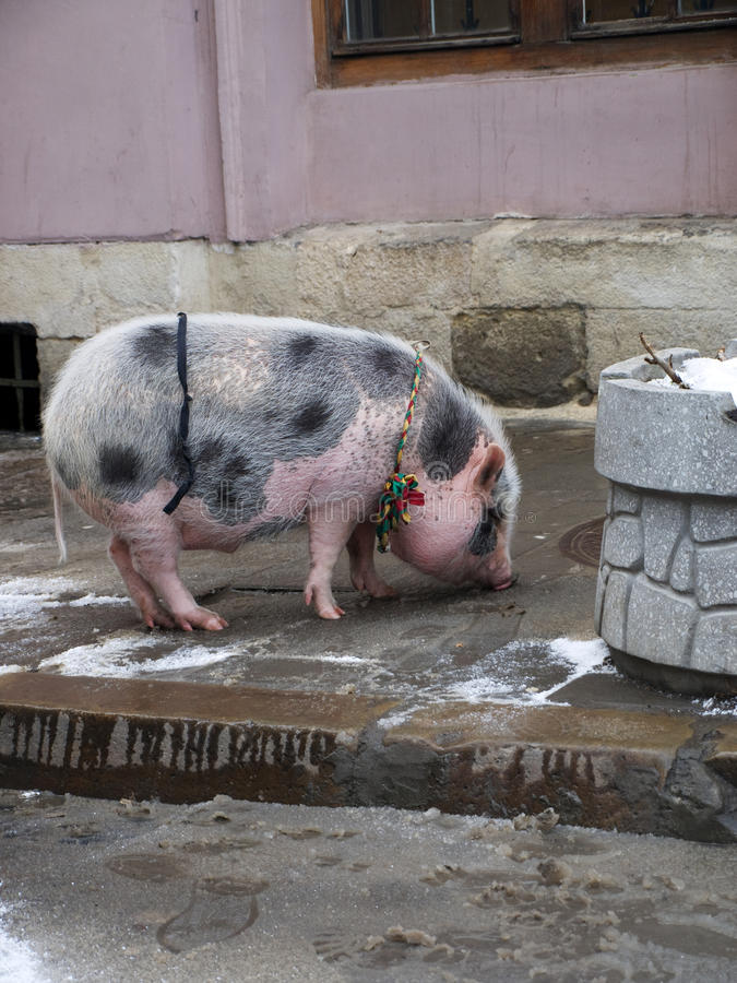 Pig walking on Lviv's streets royalty free stock photography