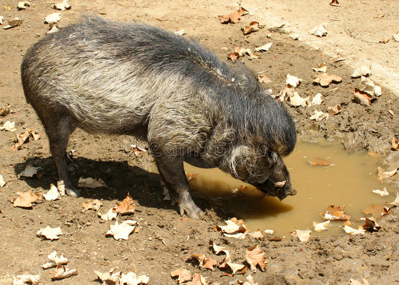 Pig. Warty Pig Drinking From Muddy Puddle royalty free stock photography