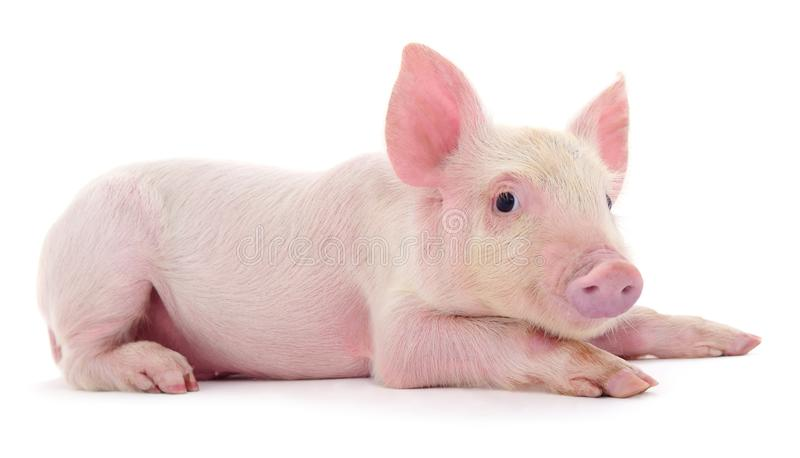 Pig on white stock images