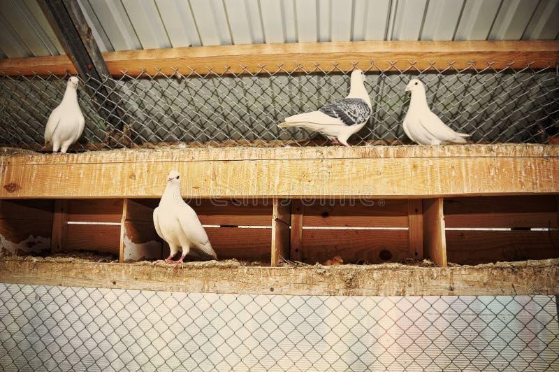 Pigeon à la cage images libres de droits