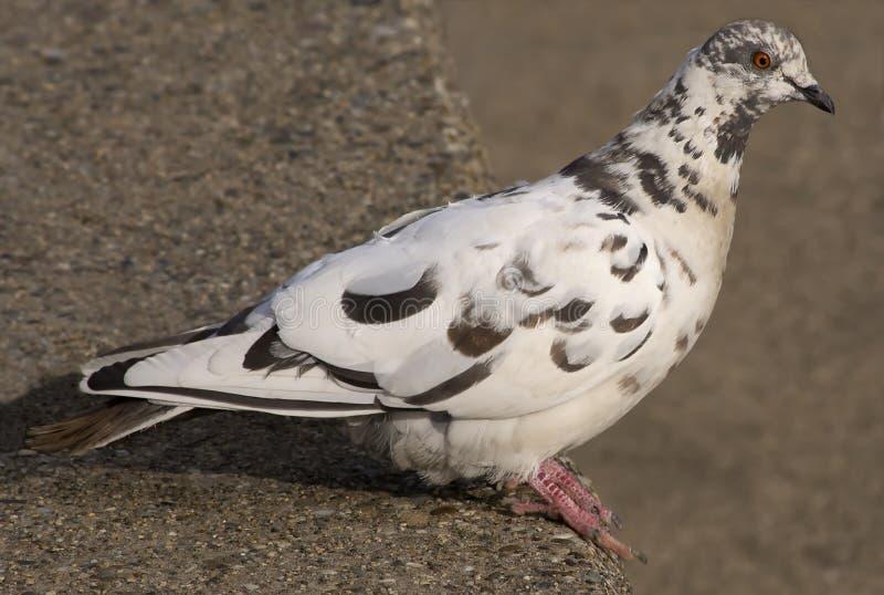 Pigeon-2 zdjęcia royalty free