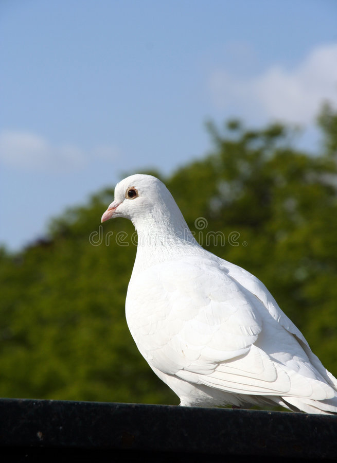 Download Pigeon stock image. Image of feathers, dove, wings, messenger - 123917