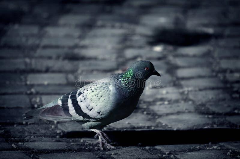 Download Pigeon στοκ εικόνες. εικόνα από προοπτική, φτερό, αναζήτηση - 1541542