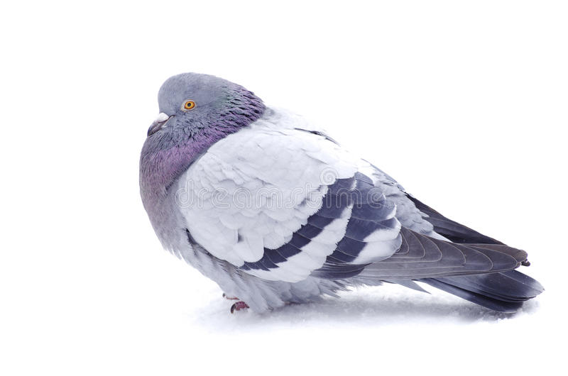 Pigeon photo stock