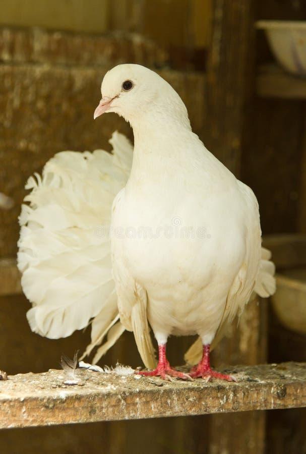 Free Pigeon Stock Photos - 20191113
