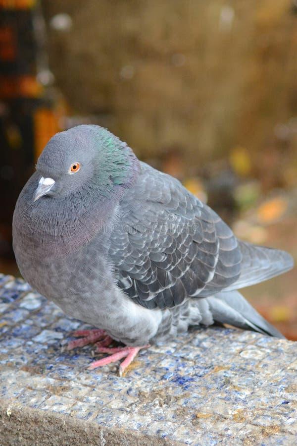Free Pigeon Stock Photos - 22037843