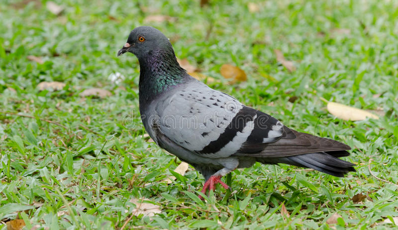 Pigeon. A pigeon strolling on a green pasture stock photo