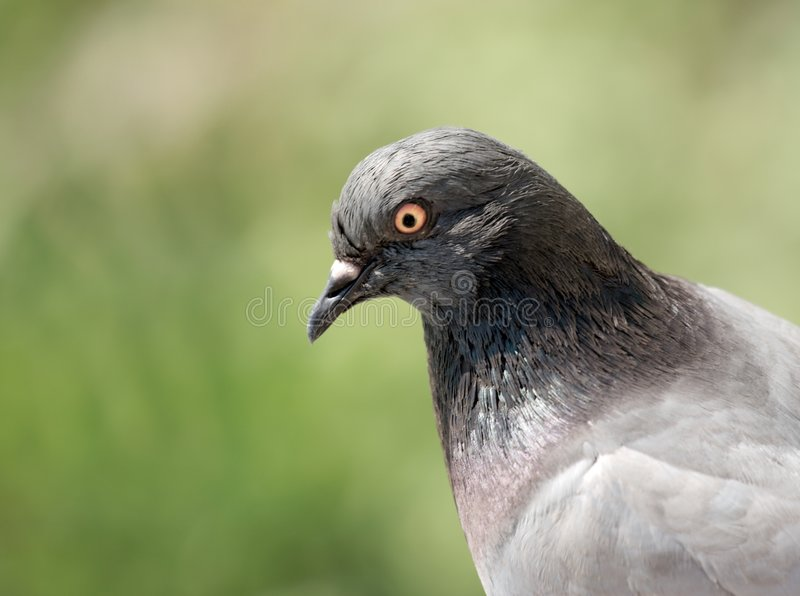 Pigeon. Portrait of a pigeon in a green field stock photography