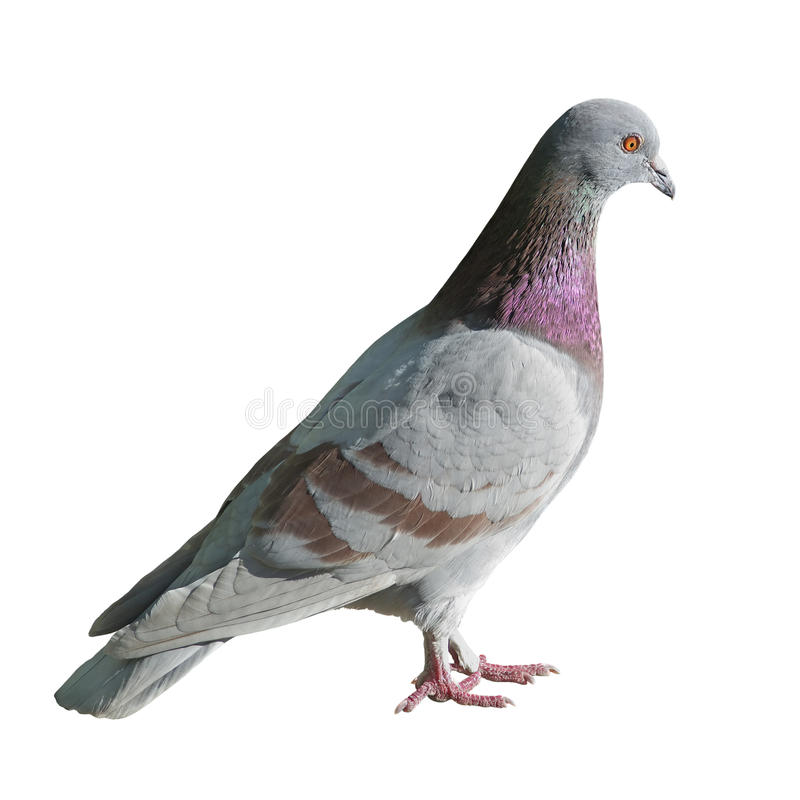 Free Pigeon Stock Photos - 24027273
