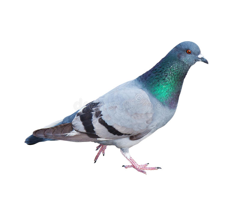 Pigeon. Common Rock Pigeon (Columba livia) on a white background with clipping path