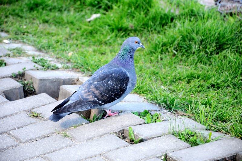 Download Pigeon Stock Image - Image: 24875611