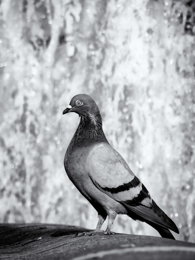 Download Pigeon stock photo. Image of background, love, detail - 24968694