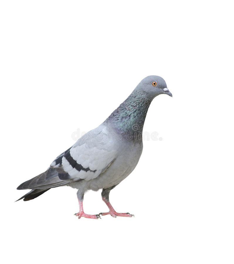 Free Pigeon Royalty Free Stock Images - 25614139