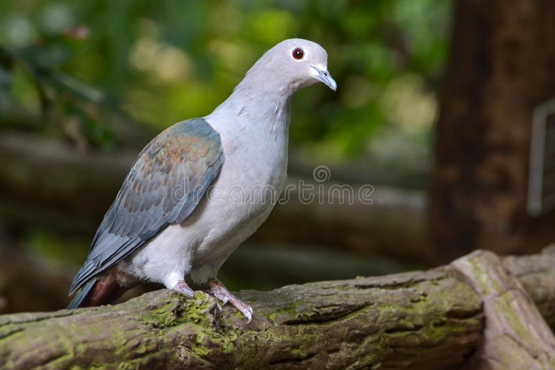 Download Pigeon stock photo. Image of perch, plumage, animal, peace - 26483008