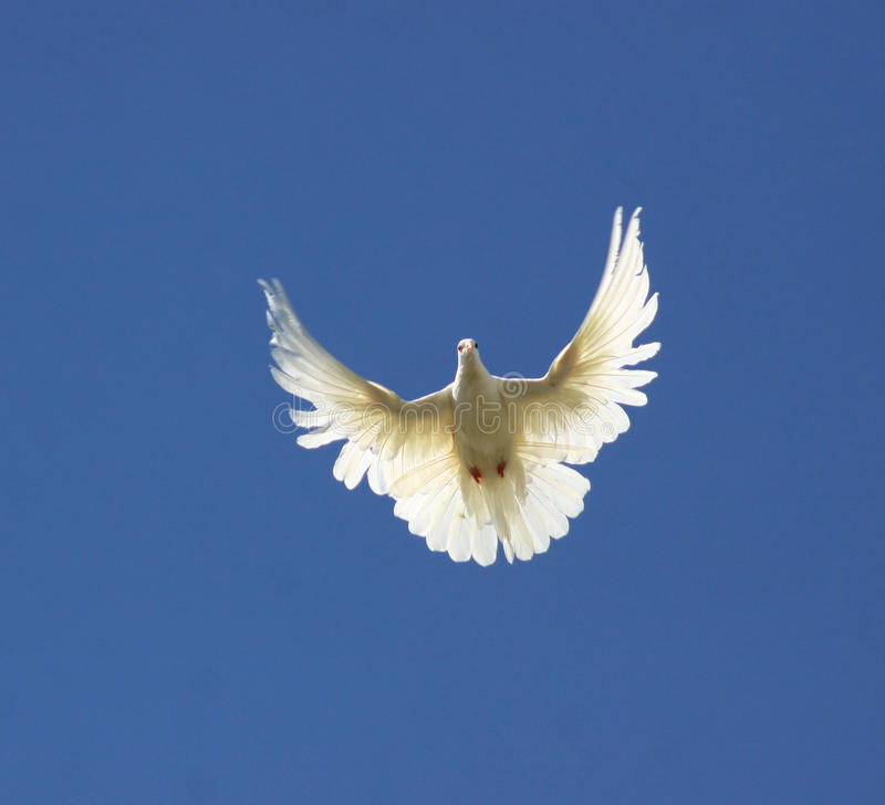 Download Pigeon stock image. Image of independence, goal, freedom - 27821769