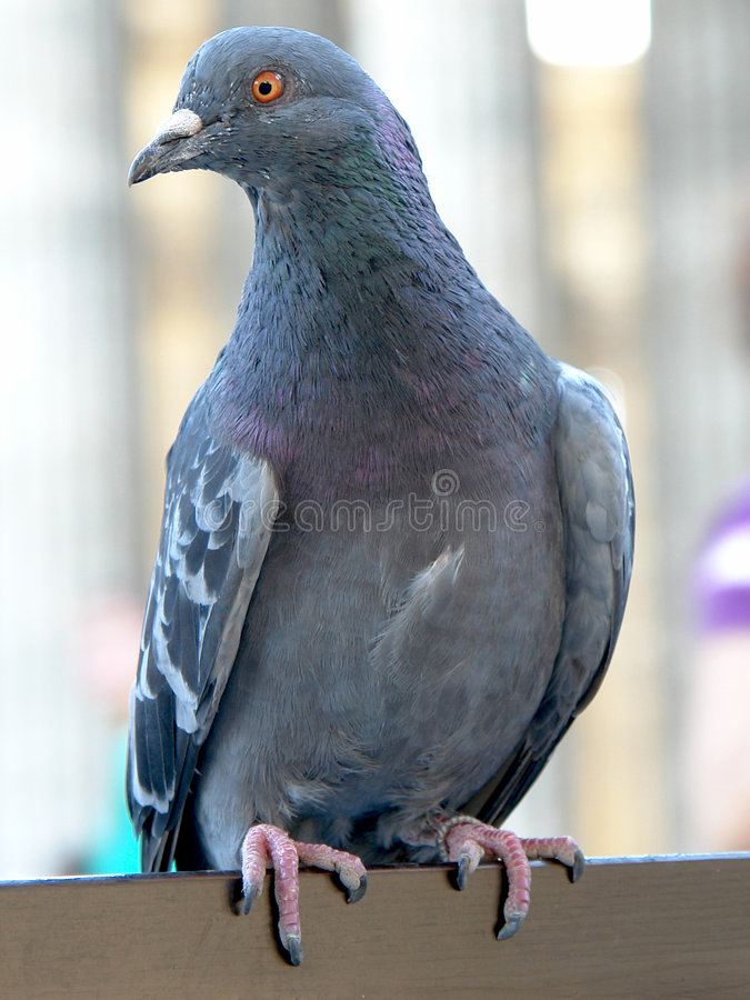 Pigeon. Crouching on the back lean of a chair in a cafe