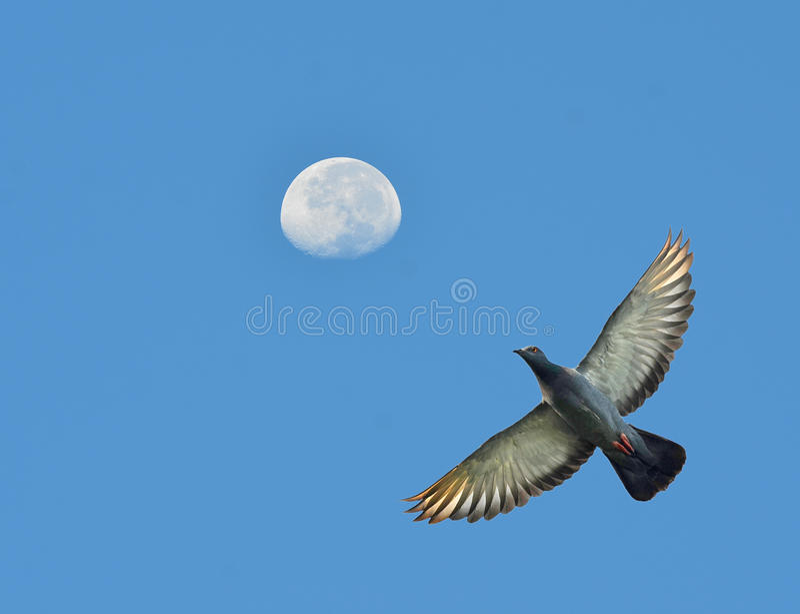 Download Pigeon image stock. Image du haut, animal, religion, amour - 45360029