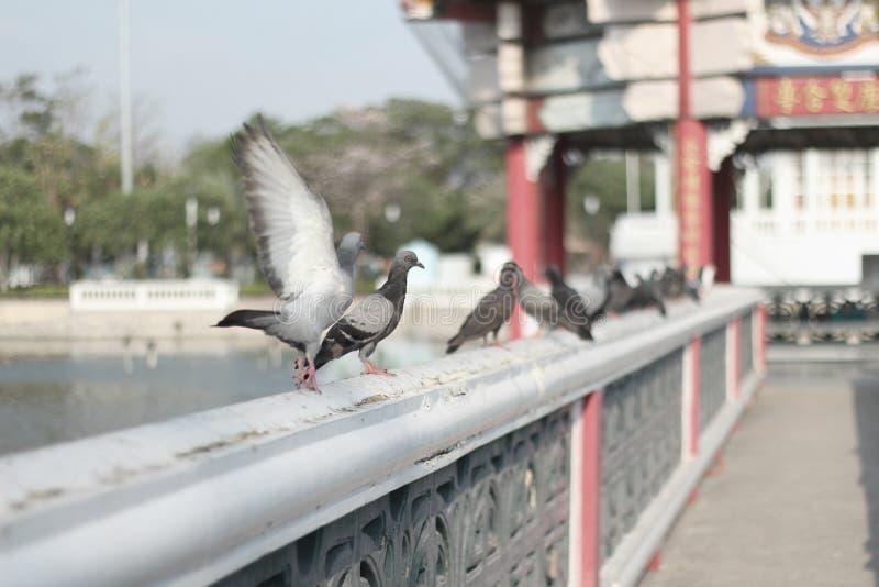 Pigeon photo stock