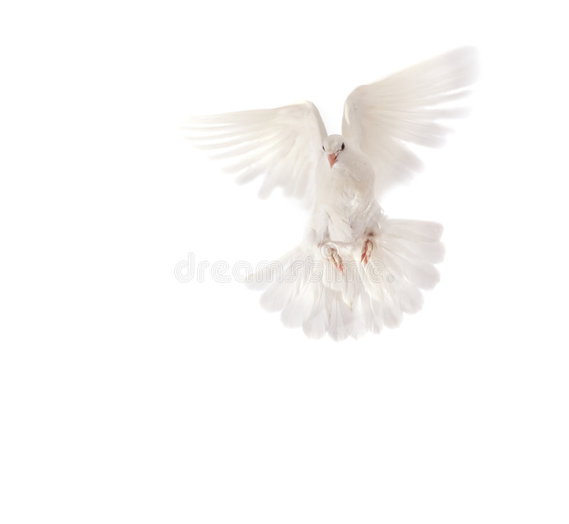 Download Pigeon stock image. Image of white, pigeon, wing, animal - 8687277