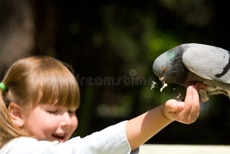 Pigeon alimentant image stock