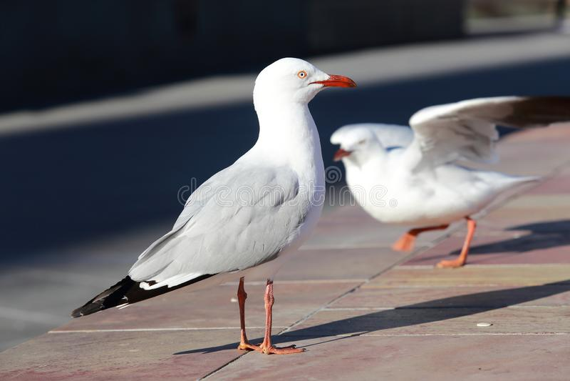 Beautiful Pigeon in the garden stock image