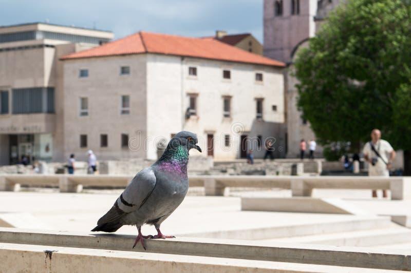Pigeon au centre de la ville de Zadar image libre de droits
