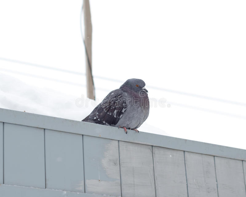 Pigeon au froid images stock