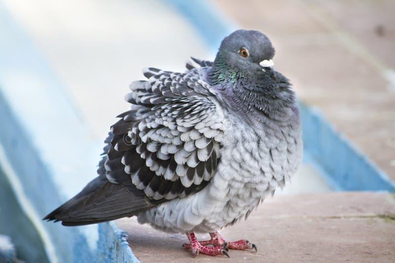 pigeon avec le froid photographie stock libre de droits