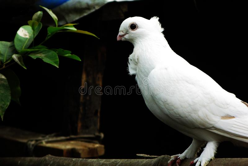 Pigeon Bangadesh houdt van natuurlijk stock foto