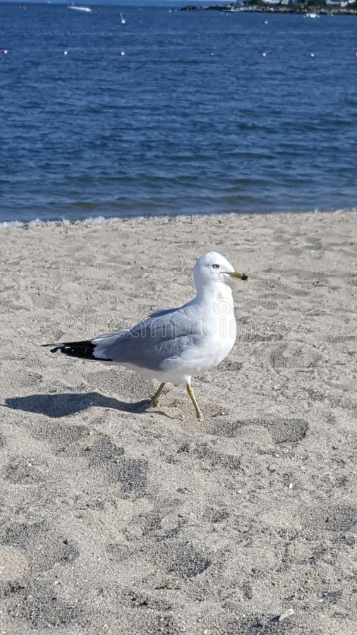 Pigeon on the Beach stock photography