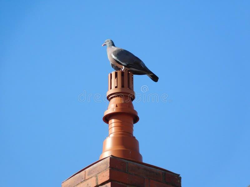 Pigeon bird gray house chimney calm blue sky bird gray house chimney. Pigeon bird gray house chimney calm blue sky brick cathedral royalty free stock images