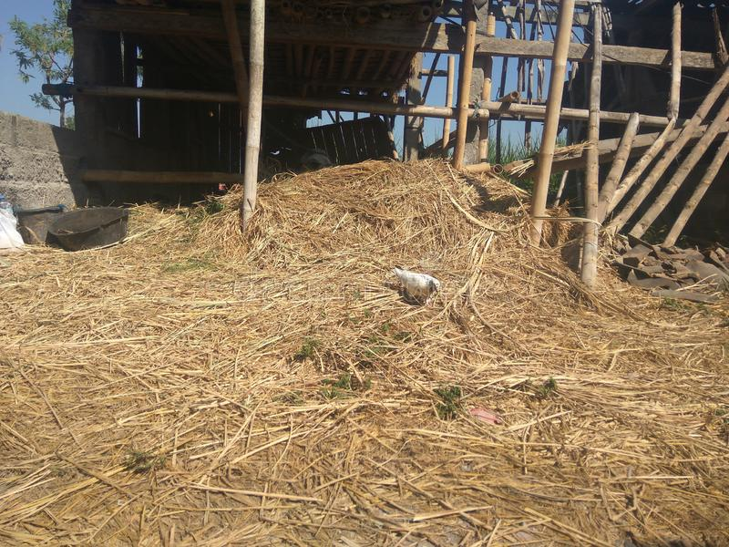 Pigeon bird in the a pile straw stock image