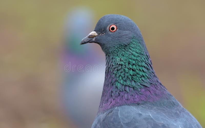Pigeon bird portrait fom short distance with face and eyes in high definition. Adult Rock Dove very close bird portrait with face and eyes in high definition royalty free stock images