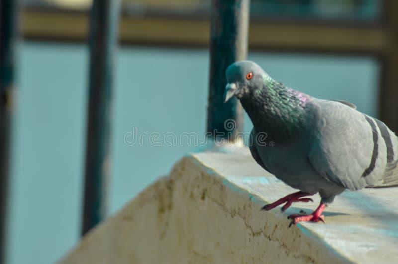 pigeon birds on tree branch stock image