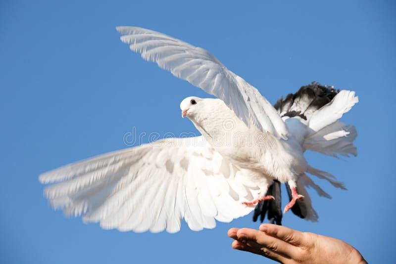 Pigeon blanc à disposition images stock