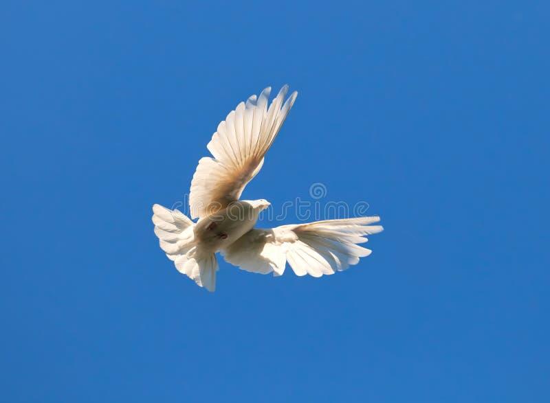 Pigeon blanc photographie stock libre de droits