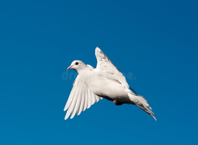Pigeon blanc image stock