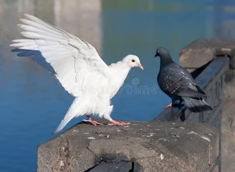 Pigeon blanc images stock
