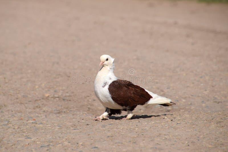 Pigeon blanc-brun de race photo libre de droits