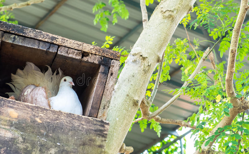 Pigeon blanc simple (colombe) dans le nid de boîte en bois au coin avec Copyspace image libre de droits