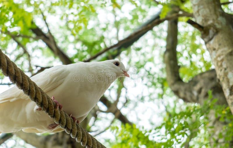 Pigeon blanc simple (colombe) sur la corde sous l'ombre du grand arbre prête à sauter et voler au coin photos stock