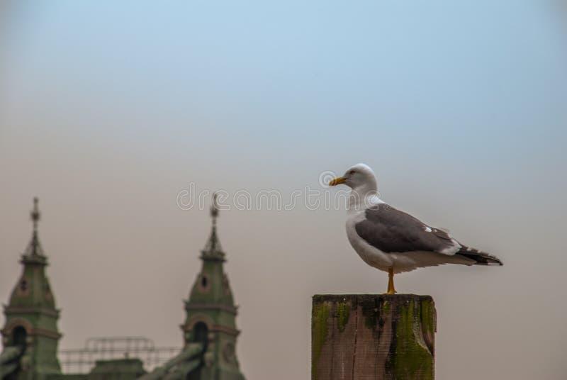 Pigeon blanc ?tant perch? sur un tron?on photo stock