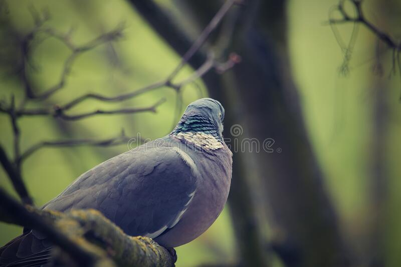 Pigeon on a branch in a tree. Feral pigeons , also called city doves, city pigeons, or street pigeons stock image