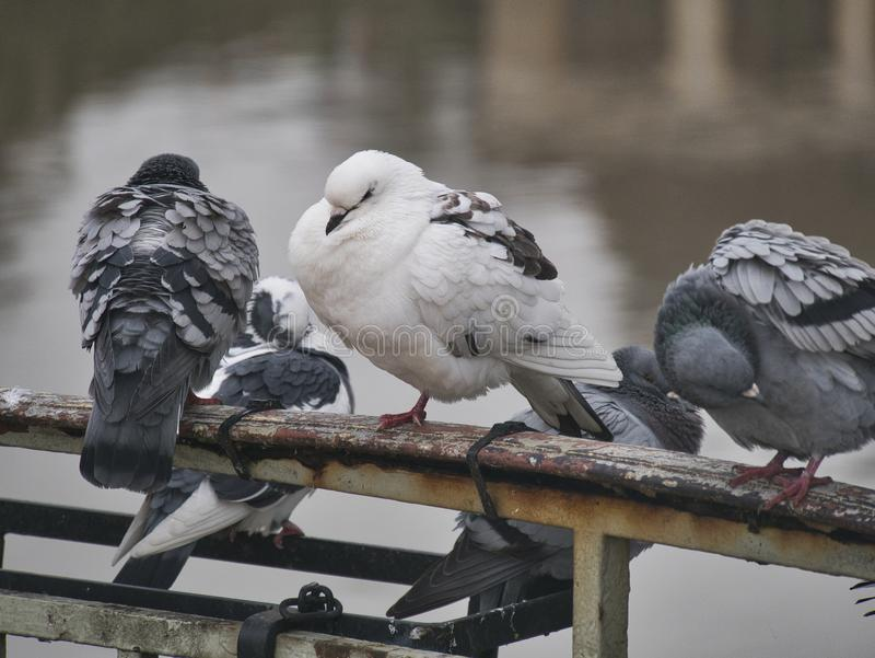 Pigeon on a bridge railing stock photography