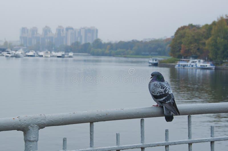 Pigeon on the bridge. stock image