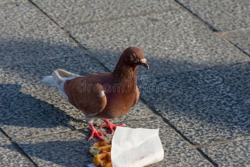Pigeon brun semblant f?ch? ? c?t? de gaufre belge photos libres de droits
