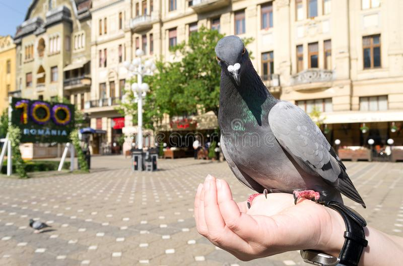 Pigeon in central square, Timisoara, Romania. Pigeon eating corn from a lady hand in Victory Square, Timisoara, Romania royalty free stock image