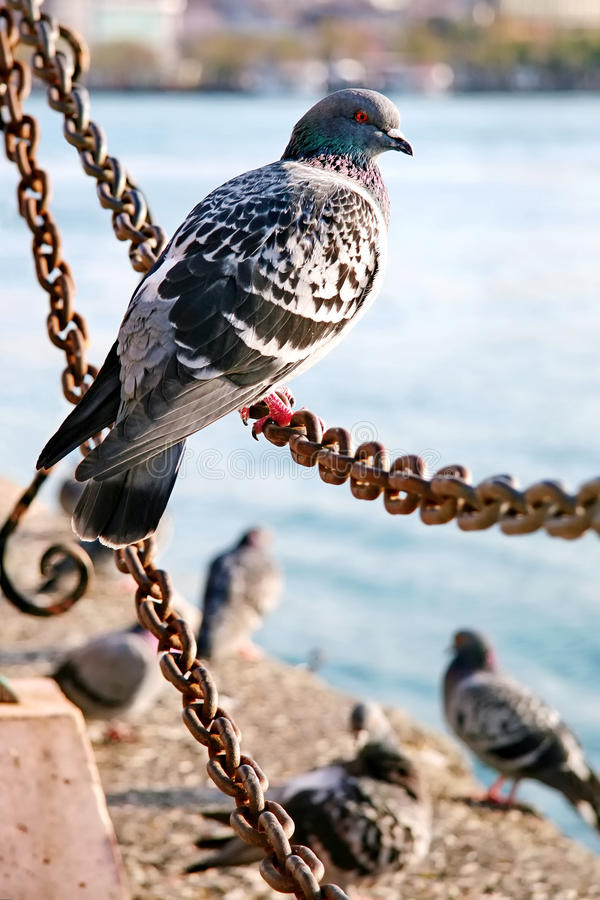 Pigeon On The Chain Stock Images